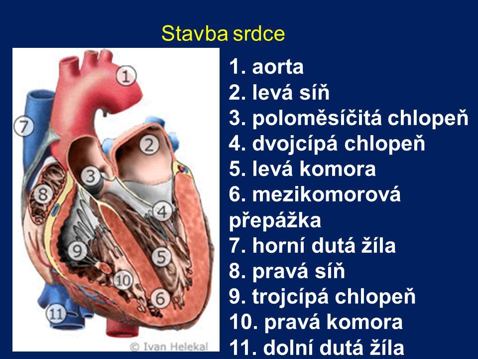 Stavba srdce 1. aorta 2. levá síň 3. poloměsíčitá chlopeň 4. dvojcípá chlopeň 5. levá komora 6. mezikomorová přepážka 7. horní dutá žíla 8. pravá síň