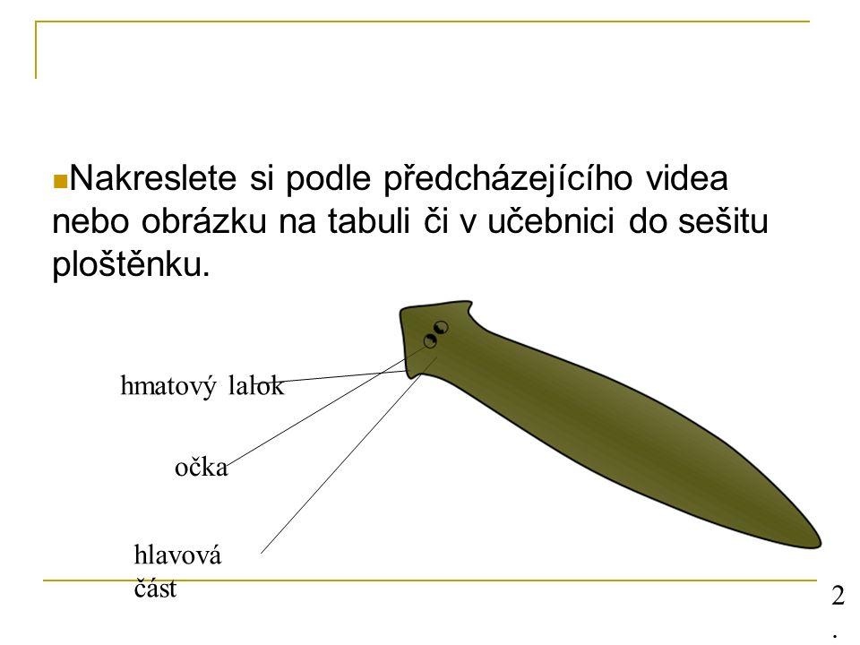 Nakreslete si podle předcházejícího videa nebo obrázku na tabuli či v učebnici do sešitu ploštěnku. hmatový lalok očka hlavová část 2.2.