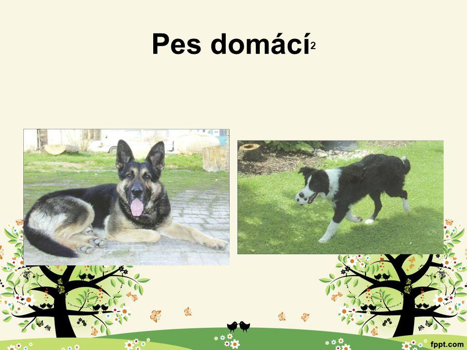 Pes domácí 2