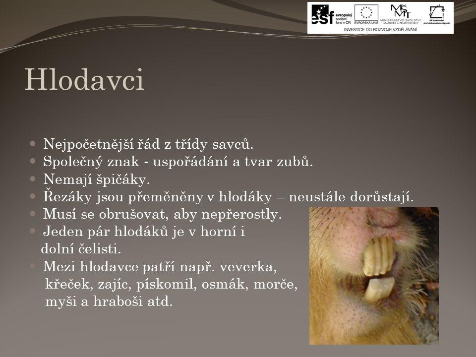 Hlodavci Nejpočetnější řád z třídy savců. Společný znak - uspořádání a tvar zubů.