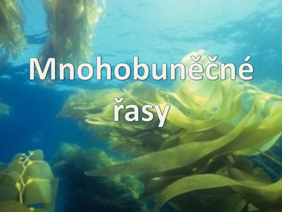 Mnohobuněčné řasy  spolu s jednobuněčnými řasami patří do podříše nižších rostlin (stélkaté bezcévné rostliny)  na rozdíl od vyšších rostlin není jejich tělo členěno na kořeny, stonky a listy  tělo mnohobuněčných řas tvoří stélka – není členěno na jednotlivé orgány Mezi mnohobuněčné řasy patří velké množství hlavně mořských druhů řas: Význam mnohobuněčných řas: vyprodukují největší množství kyslíku v rámci celé rostlinné říše vytvářejí obrovské množství organických látek červené řasy (ruduchy) hnědé řasy zelené řasy Jsou významnými producenty ve vodních ekosystémech, slouží jako potrava mnoha vodních živočichů.