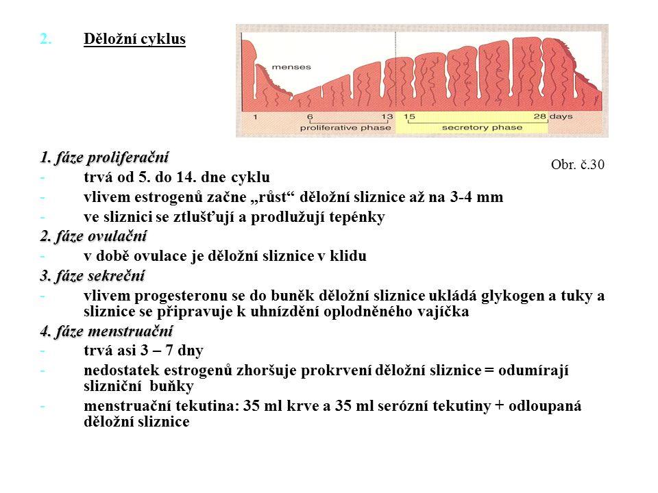 """2.Děložní cyklus 1. fáze proliferační -trvá od 5. do 14. dne cyklu -vlivem estrogenů začne """"růst"""" děložní sliznice až na 3-4 mm -ve sliznici se ztlušť"""