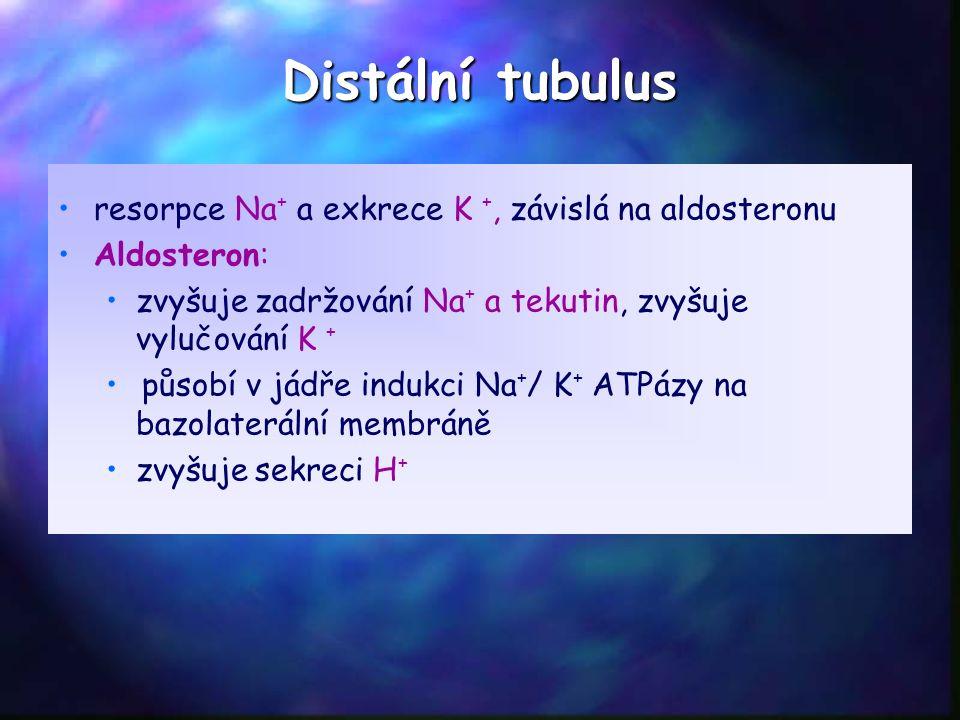 Distální tubulus resorpce Na + a exkrece K +, závislá na aldosteronu Aldosteron: zvyšuje zadržování Na + a tekutin, zvyšuje vylučování K + působí v jádře indukci Na + / K + ATPázy na bazolaterální membráně zvyšuje sekreci H +