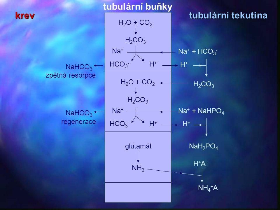 H 2 O + CO 2 H 2 CO 3 HCO 3 - H+H+ Na + H 2 O + CO 2 H 2 CO 3 HCO 3 - H+H+ Na + Na + + HCO 3 - H+H+ Na + + NaHPO 4 - H+H+ NaH 2 PO 4 NH 4 + A - NaHCO 3 zpětná resorpce regenerace glutamát NH 3 H+A-H+A- H 2 CO 3 krev tubulární tekutina tubulární buňky