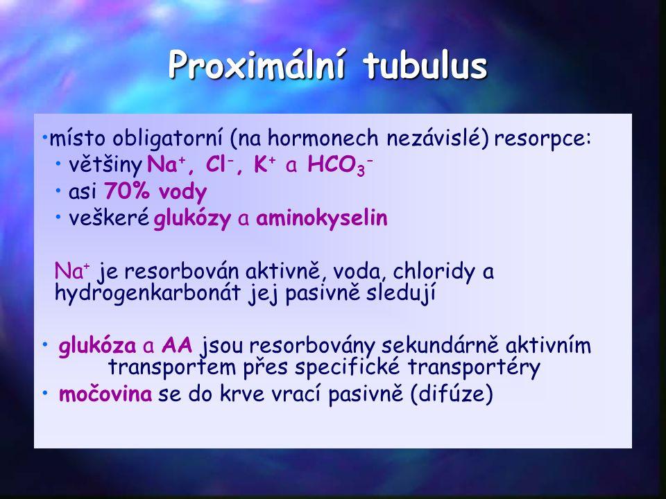 Proximální tubulus místo obligatorní (na hormonech nezávislé) resorpce: většiny Na +, Cl -, K + a HCO 3 - asi 70% vody veškeré glukózy a aminokyselin Na + je resorbován aktivně, voda, chloridy a hydrogenkarbonát jej pasivně sledují glukóza a AA jsou resorbovány sekundárně aktivním transportem přes specifické transportéry močovina se do krve vrací pasivně (difúze)