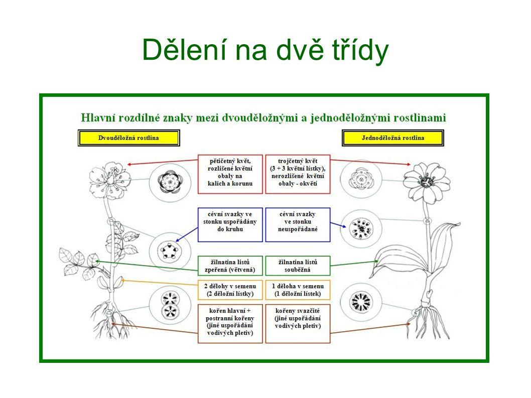Dvouděložné rostliny Pryskyřníkovité převážně vytrvalé byliny pryskyřník prudký, sasanka hajní, blatouch bahenní,...