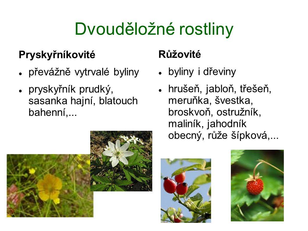 Dvouděložné rostliny Pryskyřníkovité převážně vytrvalé byliny pryskyřník prudký, sasanka hajní, blatouch bahenní,... Růžovité byliny i dřeviny hrušeň,