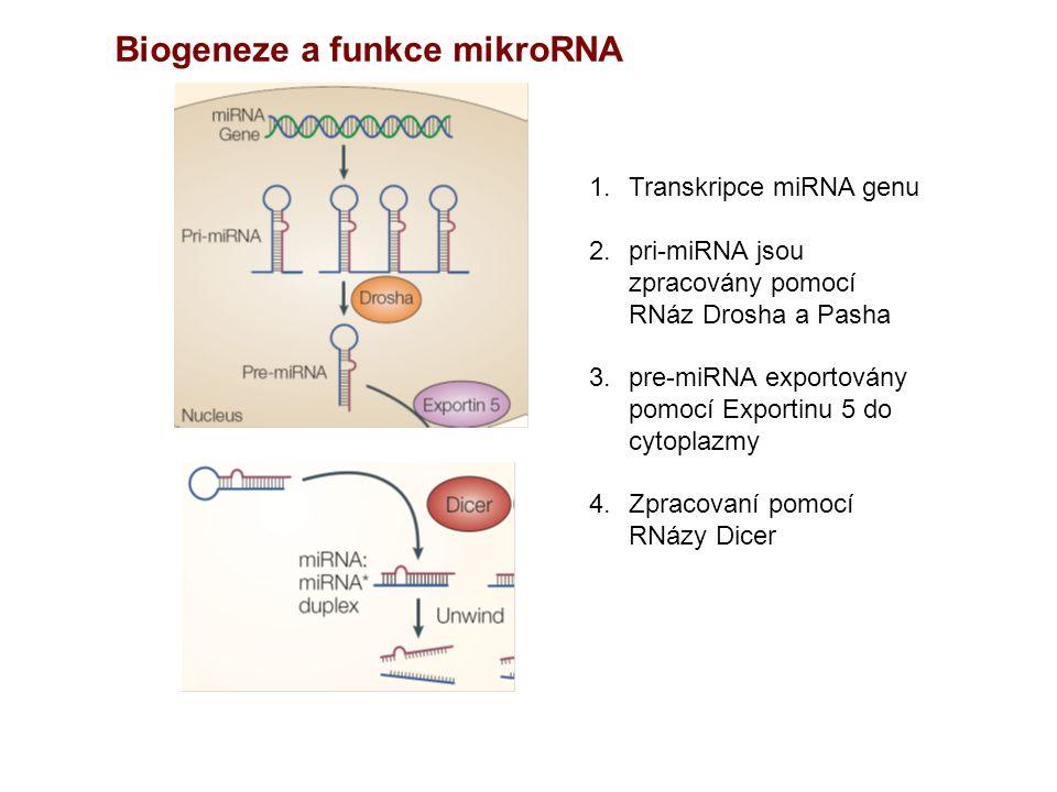 Biogeneze a funkce mikroRNA 1.Transkripce miRNA genu 2.pri-miRNA jsou zpracovány pomocí RNáz Drosha a Pasha 3.pre-miRNA exportovány pomocí Exportinu 5 do cytoplazmy 4.Zpracovaní pomocí RNázy Dicer