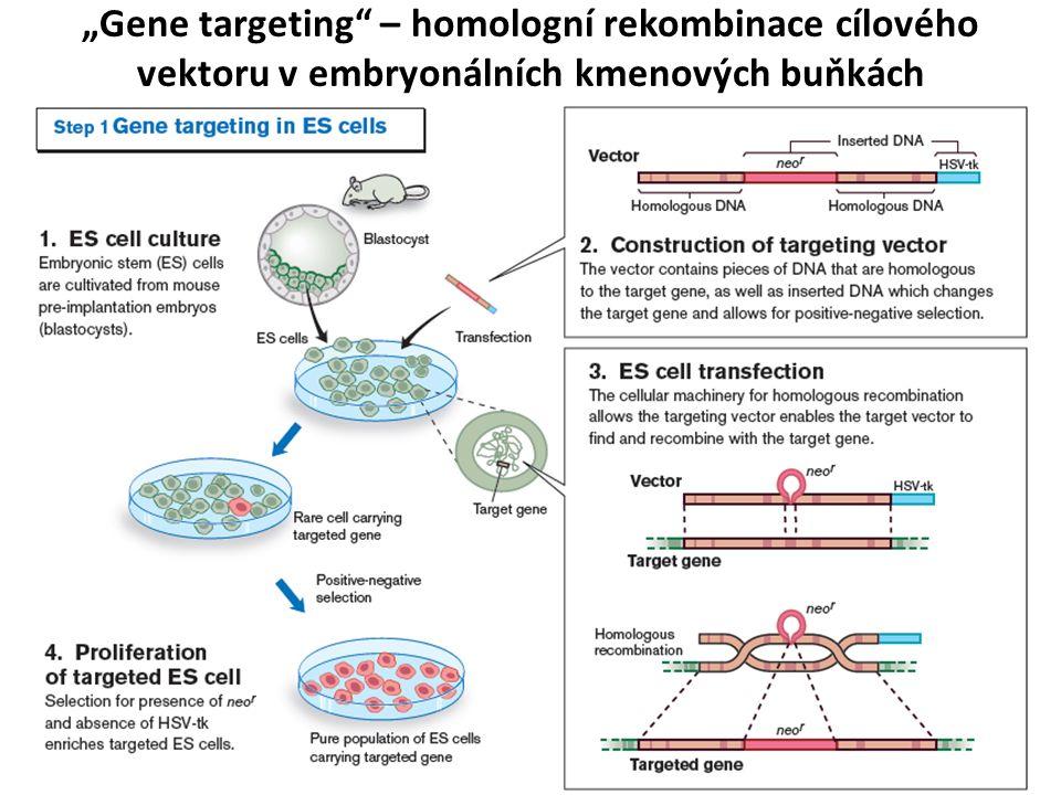 """""""Gene targeting – homologní rekombinace cílového vektoru v embryonálních kmenových buňkách"""