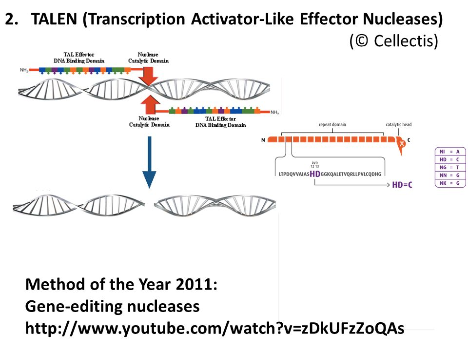 2.TALEN (Transcription Activator-Like Effector Nucleases) (© Cellectis) Method of the Year 2011: Gene-editing nucleases http://www.youtube.com/watch?v=zDkUFzZoQAs