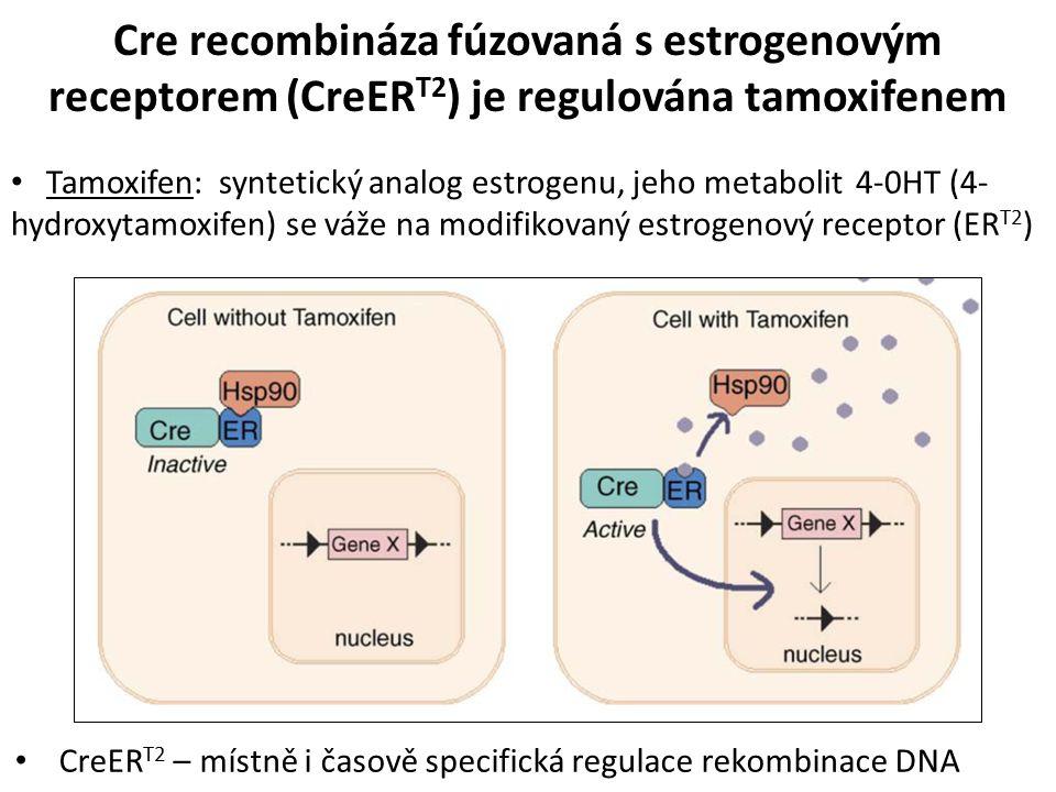 Cre recombináza fúzovaná s estrogenovým receptorem (CreER T2 ) je regulována tamoxifenem Tamoxifen: syntetický analog estrogenu, jeho metabolit 4-0HT (4- hydroxytamoxifen) se váže na modifikovaný estrogenový receptor (ER T2 ) CreER T2 – místně i časově specifická regulace rekombinace DNA