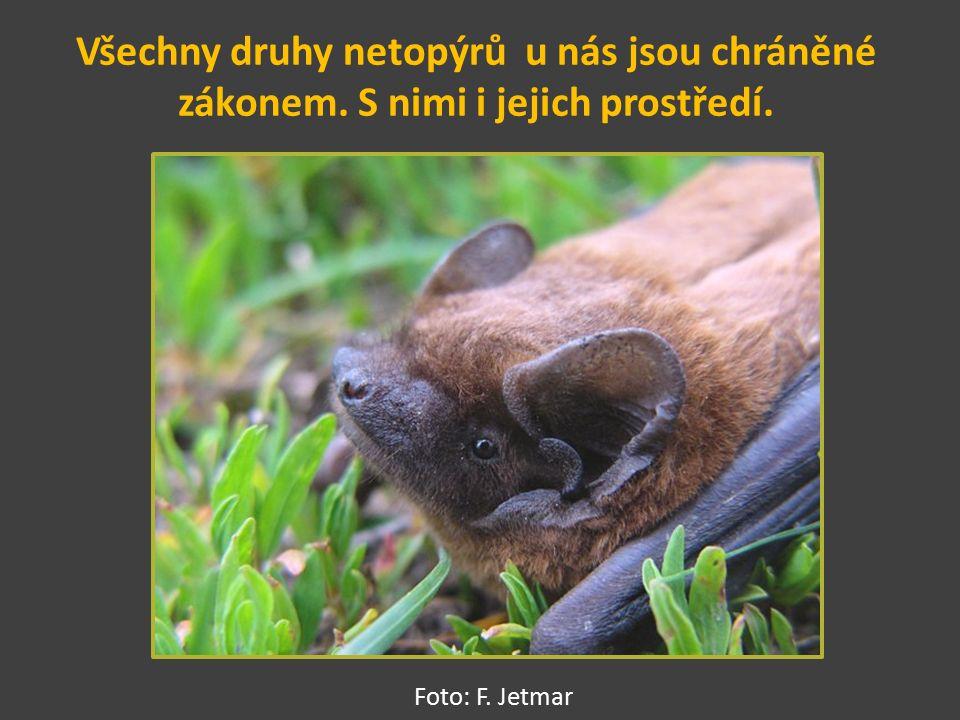 Všechny druhy netopýrů u nás jsou chráněné zákonem. S nimi i jejich prostředí. Foto: F. Jetmar