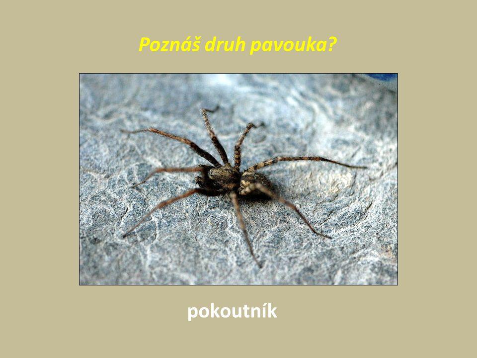 Poznáš druh pavouka pokoutník