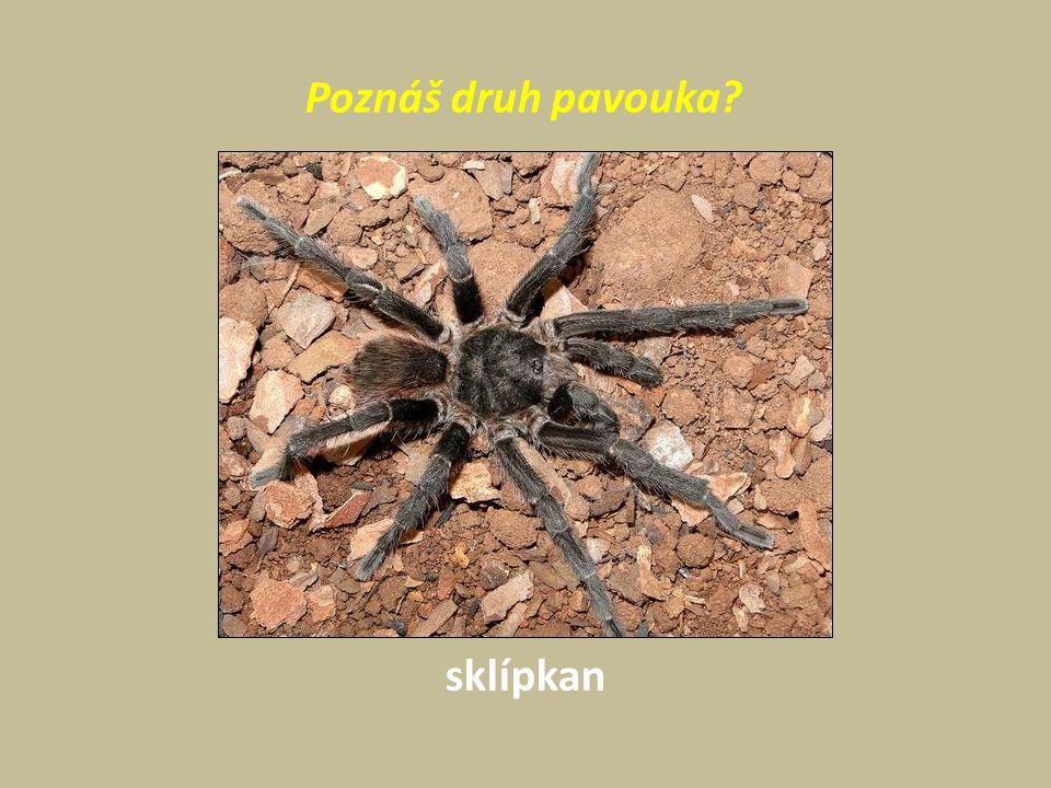 Poznáš druh pavouka sklípkan