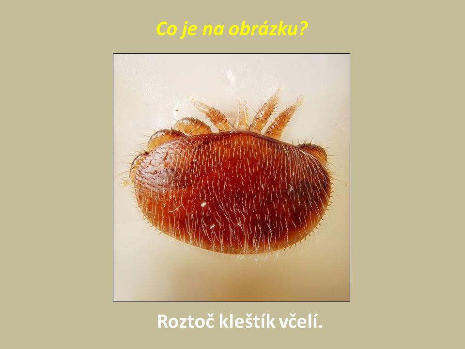 Co je na obrázku Roztoč kleštík včelí.