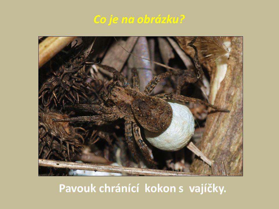 Co je na obrázku Pavouk chránící kokon s vajíčky.