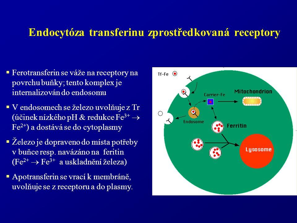 Endocytóza transferinu zprostředkovaná receptory  Ferotransferin se váže na receptory na povrchu buňky; tento komplex je internalizován do endosomu  V endosomech se železo uvolňuje z Tr (účinek nízkého pH & redukce Fe 3+  Fe 2+ ) a dostává se do cytoplasmy  Železo je dopraveno do místa potřeby v buňce resp.