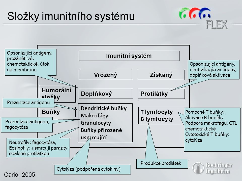Cario, 2005 Složky imunitního systému Imunitní systém VrozenýZískaný Humorální složky Buňky DoplňkovýProtilátky Dendritické buňky Makrofágy Granulocyty Buňky přirozeně usmrcující T lymfocyty B lymfocyty Opsonizující antigeny, prozánětlivé, chemotaktické, útok na membránu Prezentace antigenu Prezentace antigenu, fagocytóza Neutrofily: fagocytóza, Eosinofily: usmrcují parazity obalené protilátkou Cytolýza (podpořená cytokiny) Opsonizující antigeny, neutralizující antigeny, doplňková aktivace Produkce protilátek Pomocné T buňky: Aktivace B buněk, Podpora makrofágů, CTL chemotaktické Cytotoxické T buňky: cytolýza