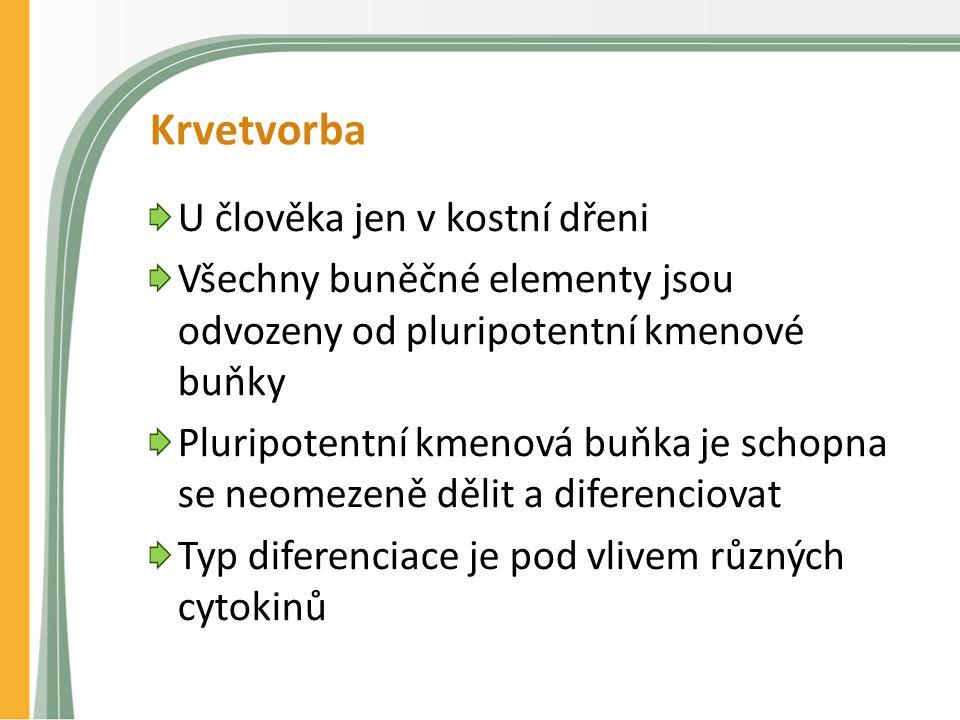 Krvetvorba U člověka jen v kostní dřeni Všechny buněčné elementy jsou odvozeny od pluripotentní kmenové buňky Pluripotentní kmenová buňka je schopna se neomezeně dělit a diferenciovat Typ diferenciace je pod vlivem různých cytokinů