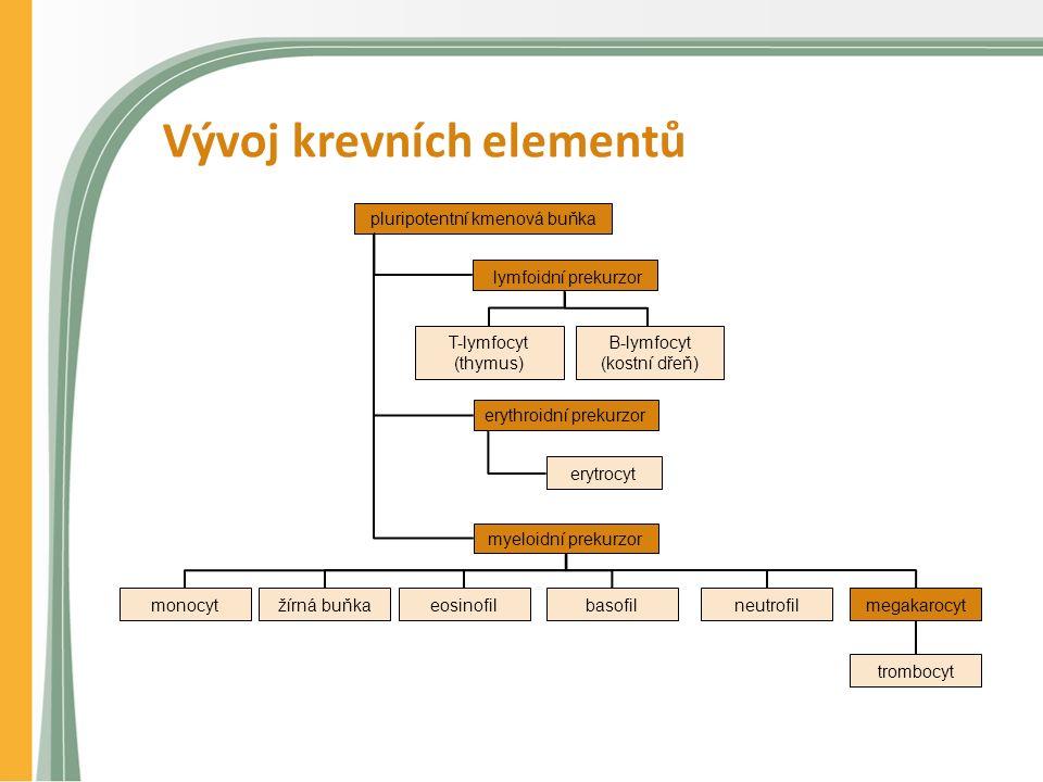 Vývoj krevních elementů pluripotentní kmenová buňka lymfoidní prekurzor B-lymfocyt (kostní dřeň) T-lymfocyt (thymus) erythroidní prekurzor erytrocyt m