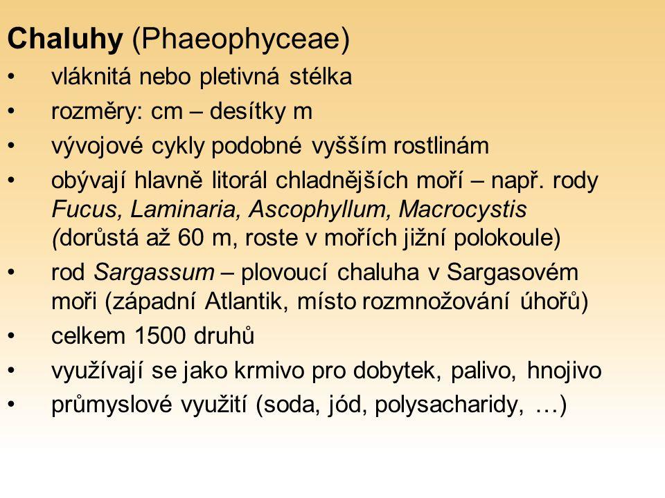 Chaluhy (Phaeophyceae) vláknitá nebo pletivná stélka rozměry: cm – desítky m vývojové cykly podobné vyšším rostlinám obývají hlavně litorál chladnějších moří – např.