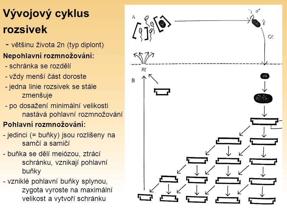 Vývojový cyklus rozsivek - většinu života 2n (typ diplont) Nepohlavní rozmnožování: - schránka se rozdělí - vždy menší část doroste - jedna linie rozsivek se stále zmenšuje - po dosažení minimální velikosti nastává pohlavní rozmnožování Pohlavní rozmnožování: - jedinci (= buňky) jsou rozlišeny na samčí a samičí - buňka se dělí meiózou, ztrácí schránku, vznikají pohlavní buňky - vzniklé pohlavní buňky splynou, zygota vyroste na maximální velikost a vytvoří schránku