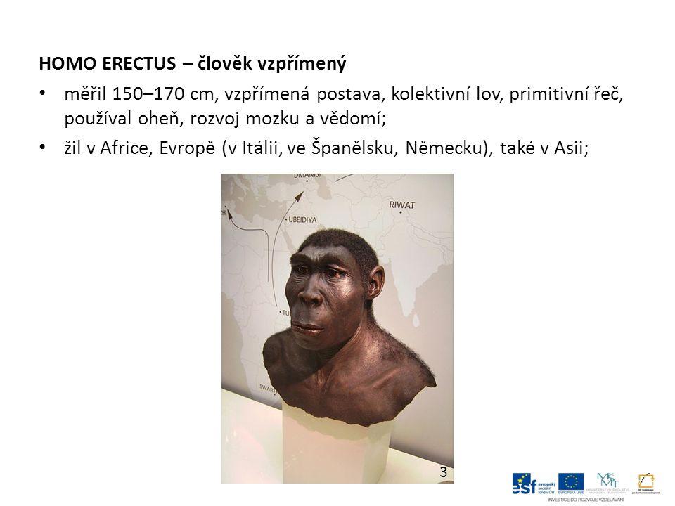 HOMO ERECTUS – člověk vzpřímený měřil 150–170 cm, vzpřímená postava, kolektivní lov, primitivní řeč, používal oheň, rozvoj mozku a vědomí; žil v Afric