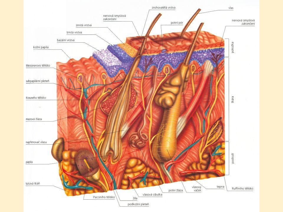 1) Pokožka 1) Pokožka (epidermis) tloušťka do 1 mm několik vrstev plochých buněk vrchní buňky- zrohovatělé, neživé, často se odlupují ve spodní vrstvě pokožky – pigment melanin (zbarvení kůže i vlasů, ochrana před UV zářením)