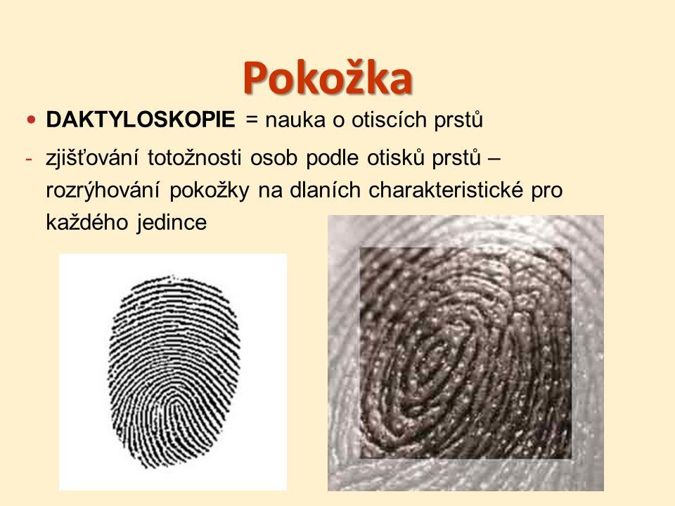 Pokožka DAKTYLOSKOPIE = nauka o otiscích prstů - zjišťování totožnosti osob podle otisků prstů – rozrýhování pokožky na dlaních charakteristické pro každého jedince