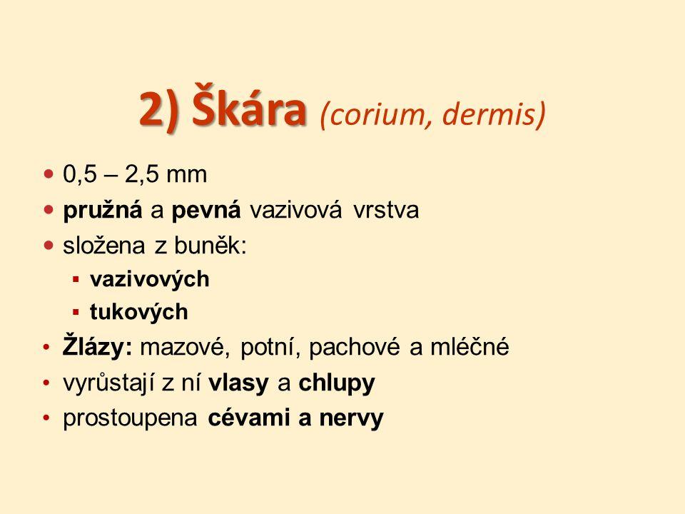 2) Škára 2) Škára (corium, dermis) 0,5 – 2,5 mm pružná a pevná vazivová vrstva složena z buněk:  vazivových  tukových Žlázy: mazové, potní, pachové a mléčné vyrůstají z ní vlasy a chlupy prostoupena cévami a nervy
