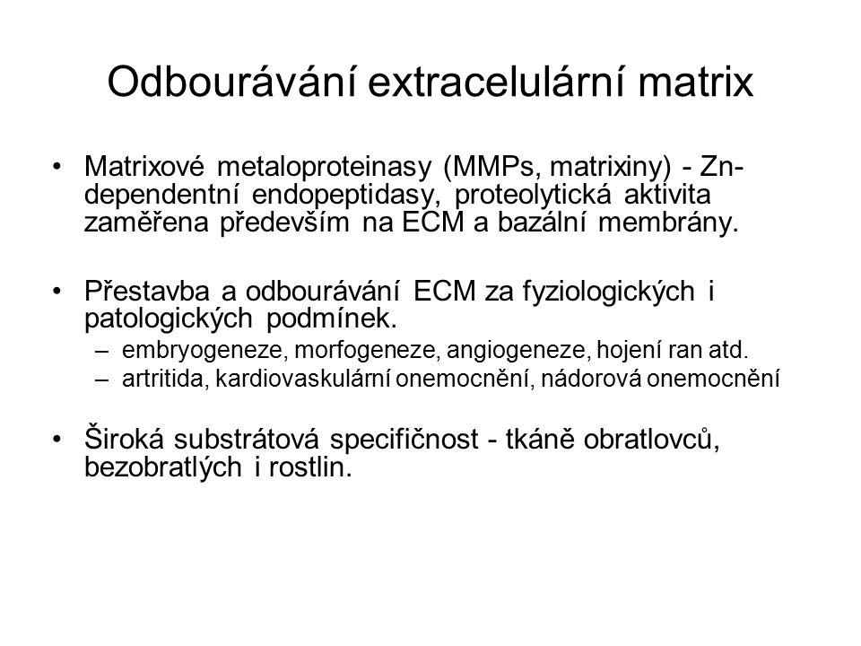 Odbourávání extracelulární matrix Matrixové metaloproteinasy (MMPs, matrixiny) - Zn- dependentní endopeptidasy, proteolytická aktivita zaměřena především na ECM a bazální membrány.
