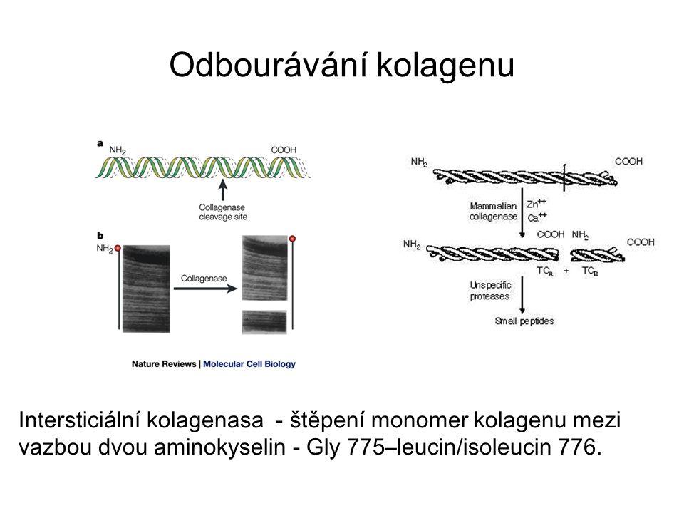 Intersticiální kolagenasa - štěpení monomer kolagenu mezi vazbou dvou aminokyselin - Gly 775–leucin/isoleucin 776.