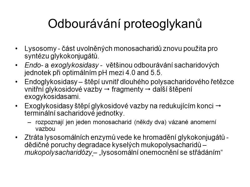 Odbourávání proteoglykanů Lysosomy - část uvolněných monosacharidů znovu použita pro syntézu glykokonjugátů.
