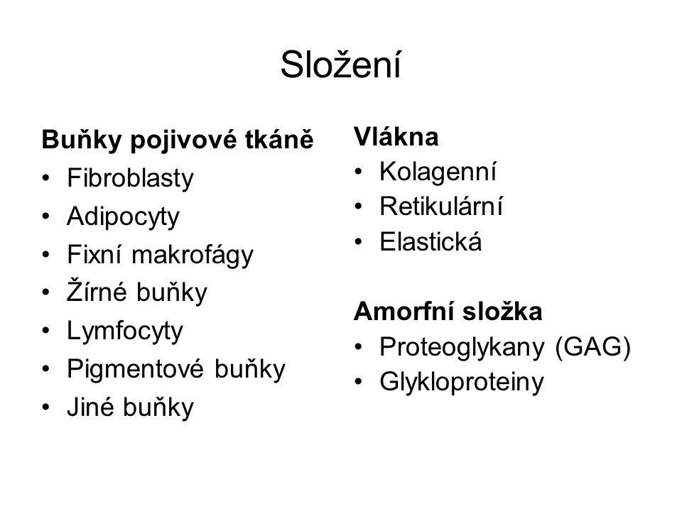 Složení Buňky pojivové tkáně Fibroblasty Adipocyty Fixní makrofágy Žírné buňky Lymfocyty Pigmentové buňky Jiné buňky Vlákna Kolagenní Retikulární Elastická Amorfní složka Proteoglykany (GAG) Glykloproteiny