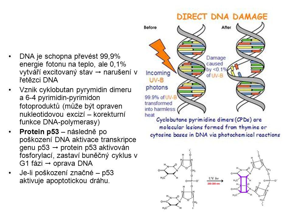 DNA je schopna převést 99,9% energie fotonu na teplo, ale 0,1% vytváří excitovaný stav  narušení v řetězci DNA Vznik cyklobutan pyrymidin dimeru a 6-4 pyrimidin-pyrimidon fotoproduktů (může být opraven nukleotidovou excizí – korekturní funkce DNA-polymerasy) Protein p53 – následně po poškození DNA aktivace transkripce genu p53  protein p53 aktivován fosforylací, zastaví buněčný cyklus v G1 fázi  oprava DNA Je-li poškození značné – p53 aktivuje apoptotickou dráhu.