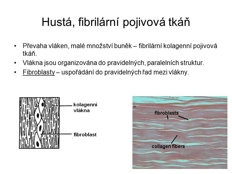 Hustá, fibrilární pojivová tkáň Převaha vláken, malé množství buněk – fibrilární kolagenní pojivová tkáň.