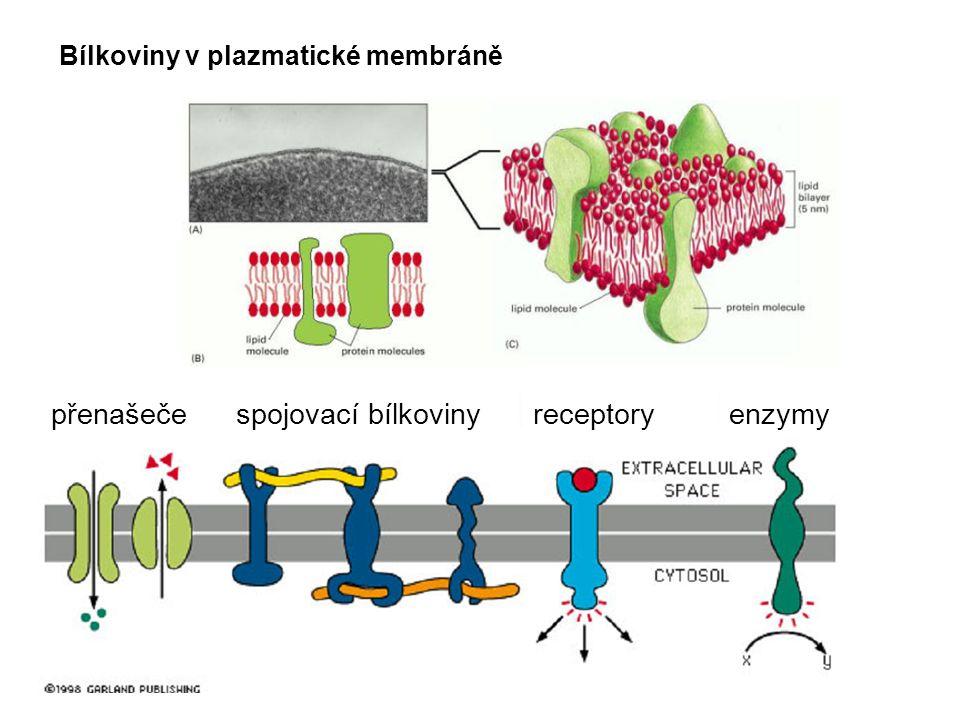 Bílkoviny v plazmatické membráně přenašečespojovací bílkoviny receptoryenzymy