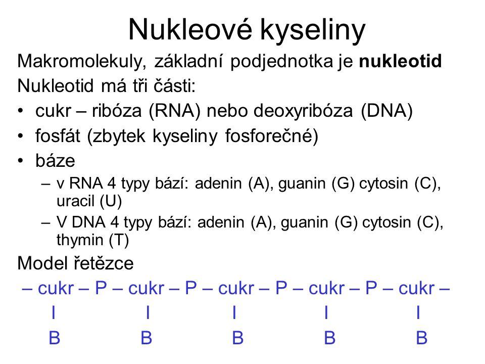 Nukleové kyseliny Makromolekuly, základní podjednotka je nukleotid Nukleotid má tři části: cukr – ribóza (RNA) nebo deoxyribóza (DNA) fosfát (zbytek kyseliny fosforečné) báze –v RNA 4 typy bází: adenin (A), guanin (G) cytosin (C), uracil (U) –V DNA 4 typy bází: adenin (A), guanin (G) cytosin (C), thymin (T) Model řetězce – cukr – P – cukr – P – cukr – P – cukr – P – cukr – I I I I I B B B B B