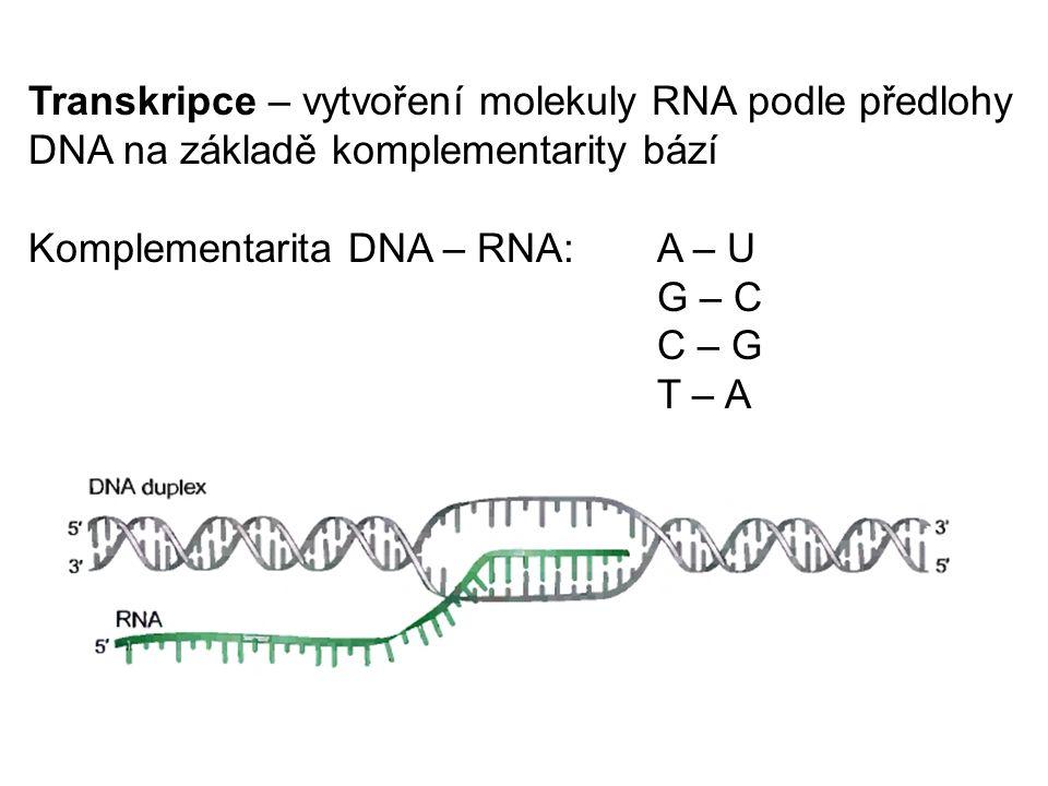 Transkripce – vytvoření molekuly RNA podle předlohy DNA na základě komplementarity bází Komplementarita DNA – RNA:A – U G – C C – G T – A