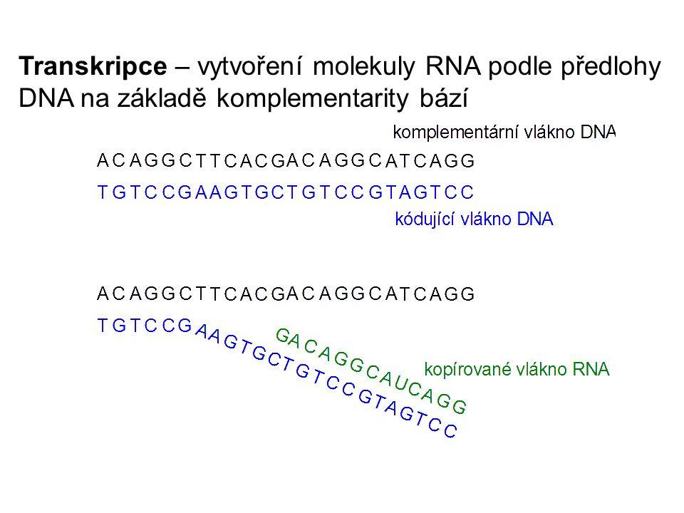 Transkripce – vytvoření molekuly RNA podle předlohy DNA na základě komplementarity bází