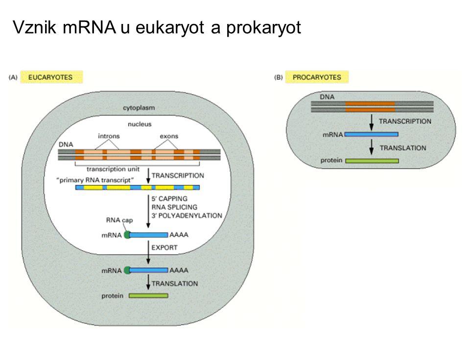 Vznik mRNA u eukaryot a prokaryot