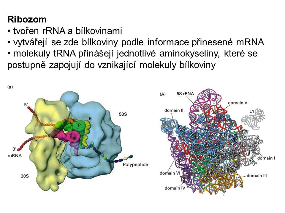 Ribozom tvořen rRNA a bílkovinami vytvářejí se zde bílkoviny podle informace přinesené mRNA molekuly tRNA přinášejí jednotlivé aminokyseliny, které se postupně zapojují do vznikající molekuly bílkoviny
