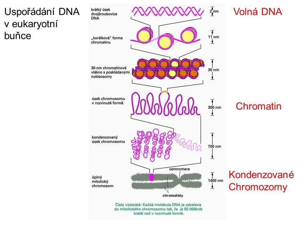 Uspořádání DNA v eukaryotní buňce Volná DNA Chromatin Kondenzované Chromozomy