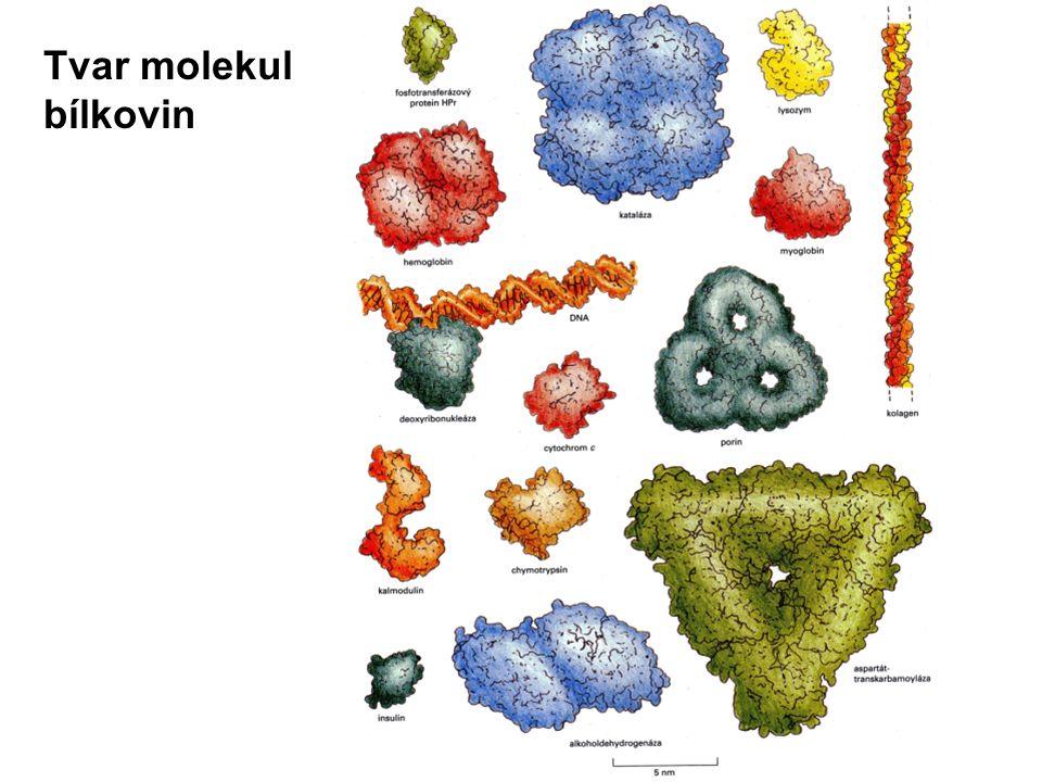 Funkce bílkovin v živých organismech enzymy = biokatalyzátory – umožňují a regulují chemické reakce v buňkách stavební – stavební součástí buněk a mezibuněčné hmoty receptory – zachycení a rozpoznání signálů signální molekuly – na povrchu buňky, některé hormony přenašeče a transportní bílkoviny – na membránách, uvnitř buňky, v krvi apod.
