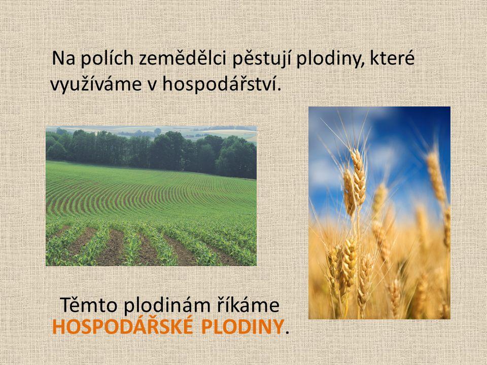 Na polích zemědělci pěstují plodiny, které využíváme v hospodářství.