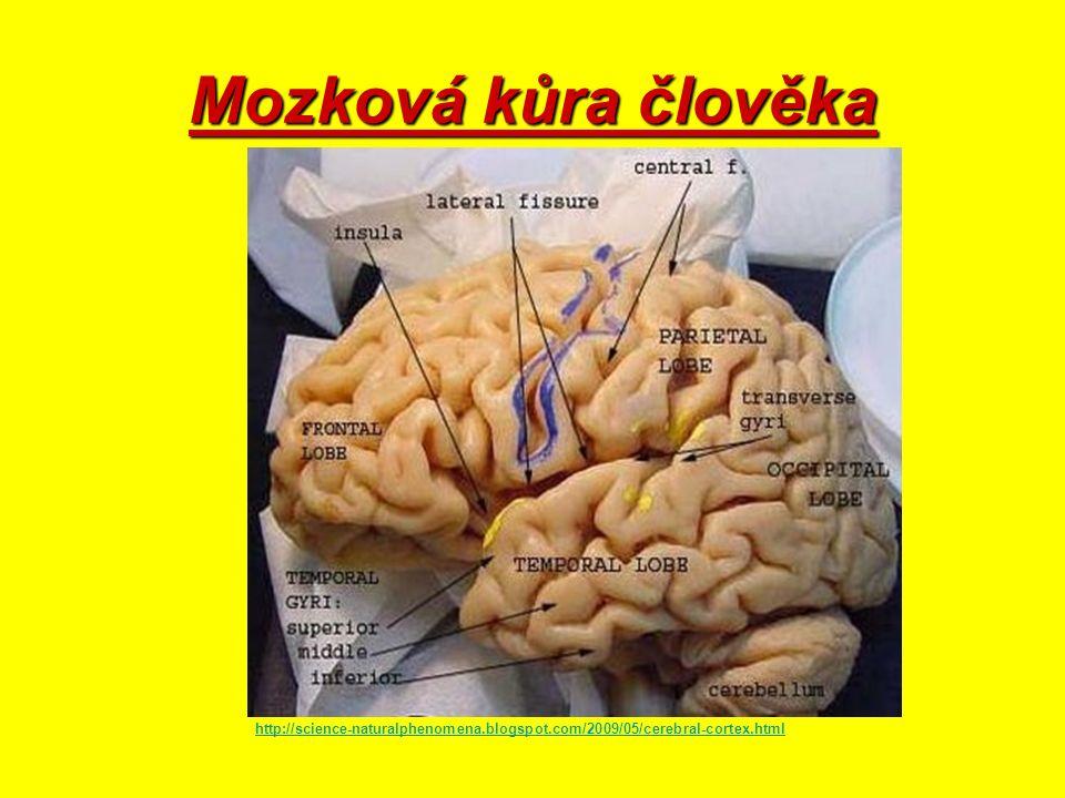 KONCOVÝ MOZEK Největší část mozku Rozdělen na pravou a levou polokouli (hemisféru) Na povrchu mozková kůra