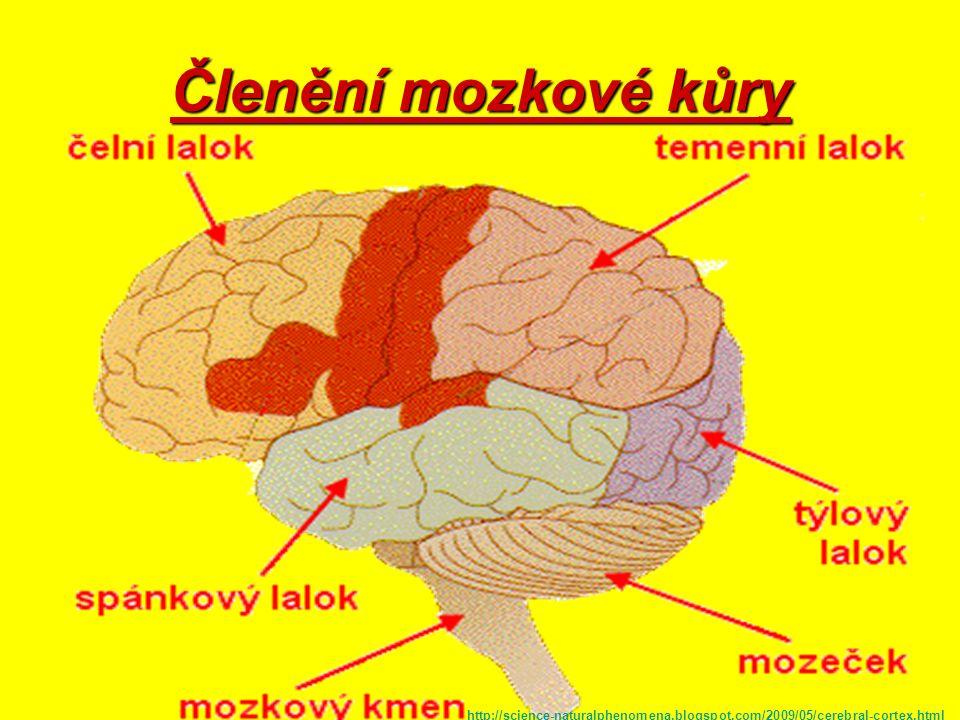 Mozková kůra Tvořena těly n. b.