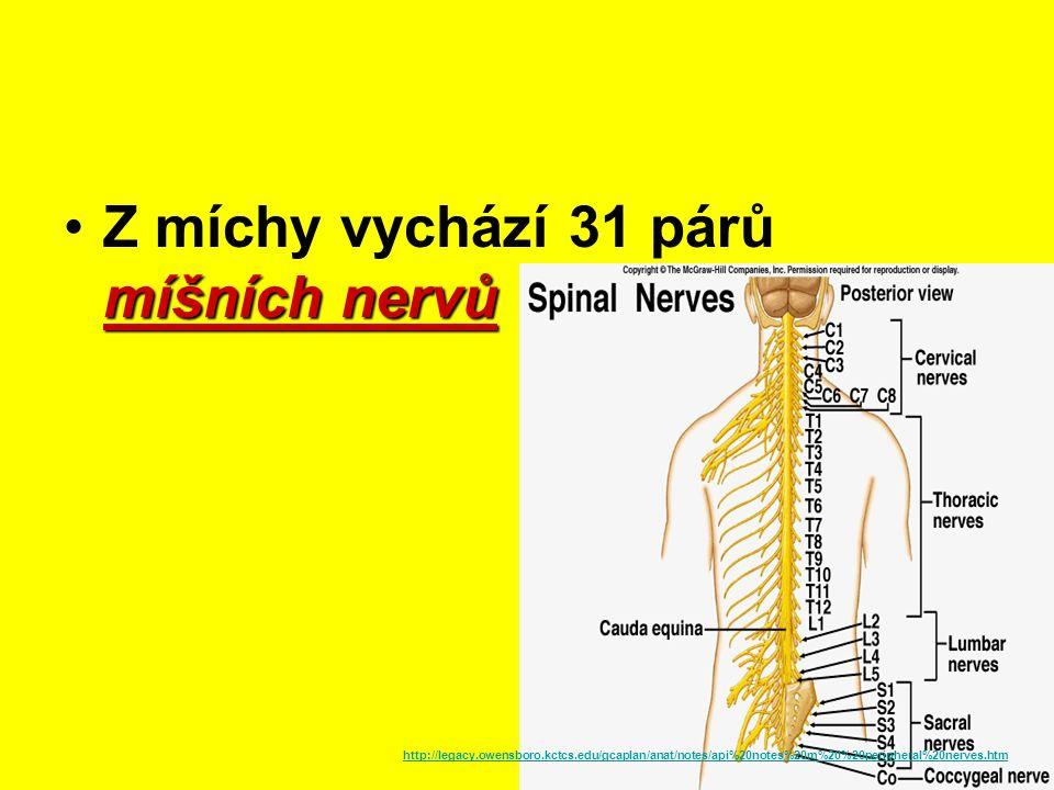 Mícha Nervová trubice Prochází míšními otvory obratlů Od týlu k 2.