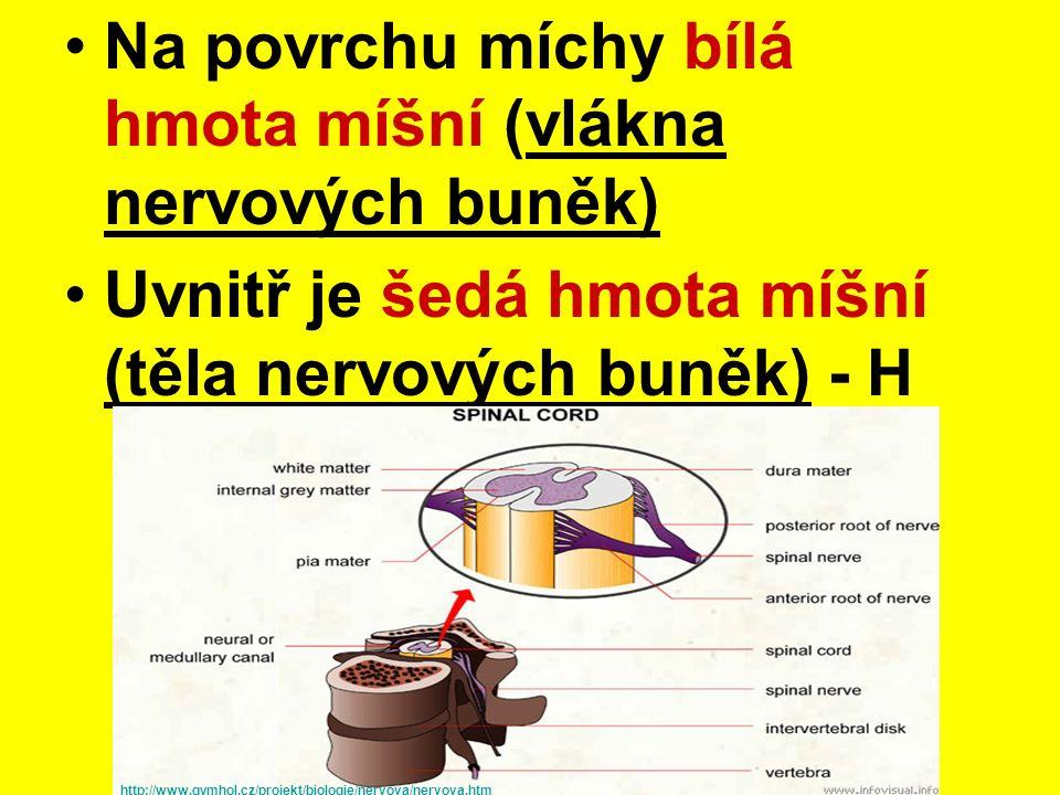 Na povrchu míchy bílá hmota míšní (vlákna nervových buněk) Uvnitř je šedá hmota míšní (těla nervových buněk) - H http://www.gymhol.cz/projekt/biologie/nervova/nervova.htm