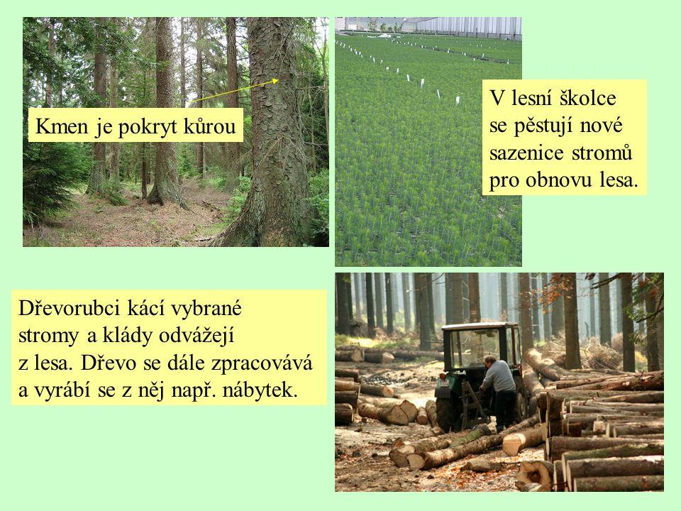 Kmen je pokryt kůrou Dřevorubci kácí vybrané stromy a klády odvážejí z lesa.